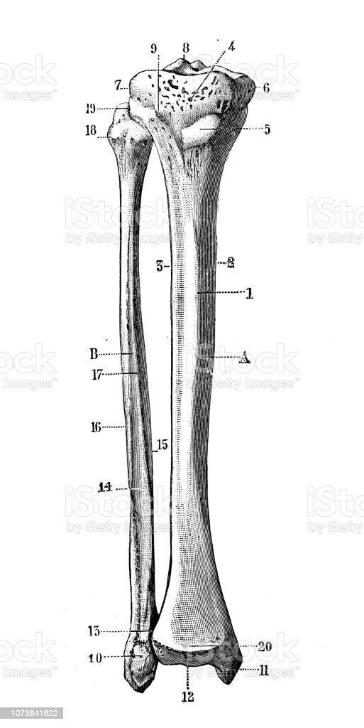 Antique Illustration Of Human Body Anatomy Bones Tibia And Fibula
