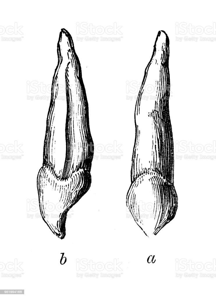 Antique illustration of human body anatomy: canine teeth vector art illustration