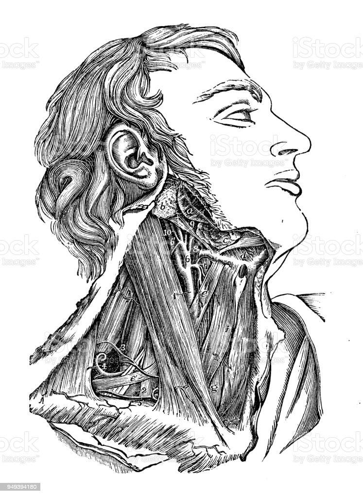 Ilustración de Antigua Ilustración De La Anatomía Del Cuerpo Humano ...