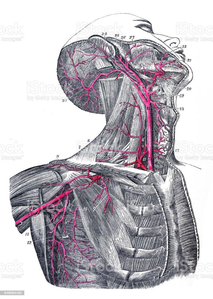 Antique Illustration Of Human Body Anatomy Carotid And Neck Arteries ...