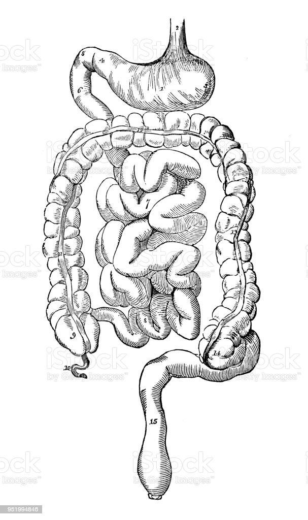 Antique Illustration Of Human Body Anatomy Digestive System Stock