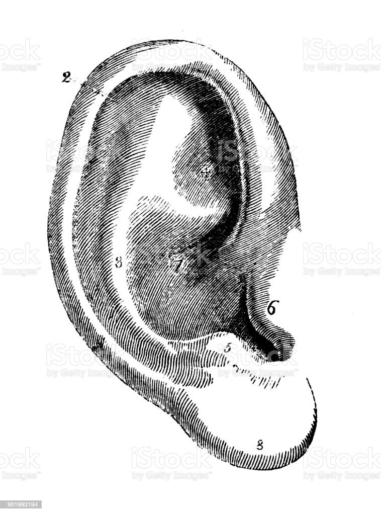 Human Ear Illustrations  Royalty-free Vector Graphics  U0026 Clip Art