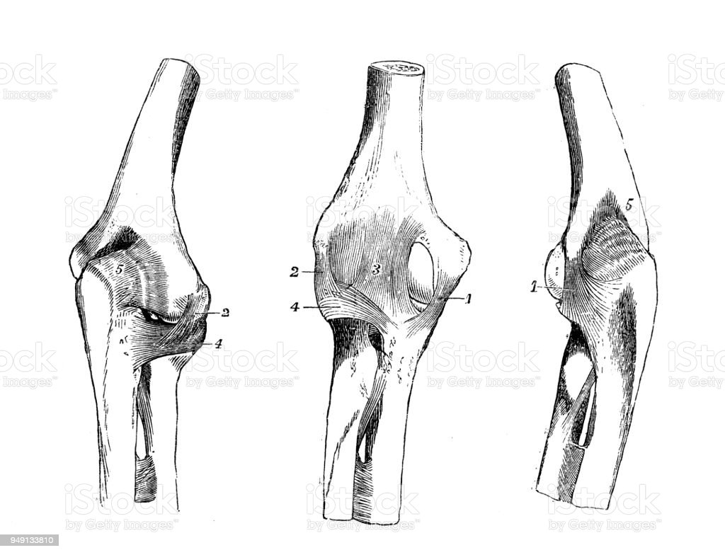 Antique Illustration Of Human Body Anatomy Elbow Joint Stock Vector