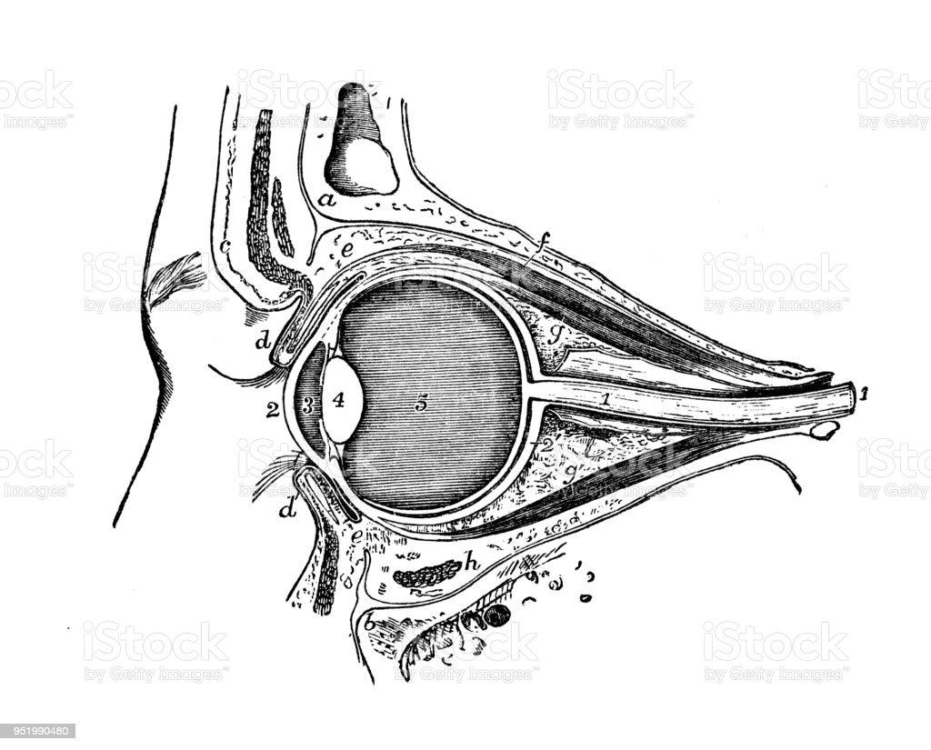 Antike Darstellung Der Anatomie Des Menschlichen Körpers Auge Stock ...
