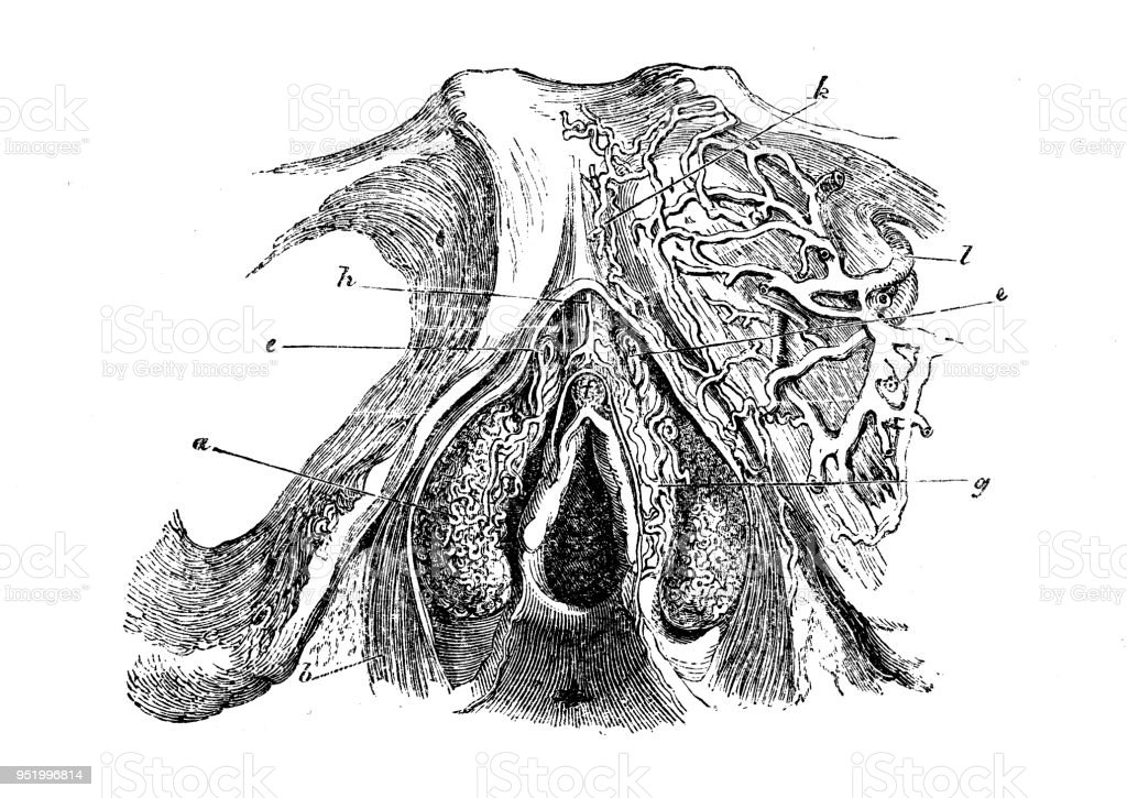 Antique Illustration Of Human Body Anatomy Female Reproductive Organ