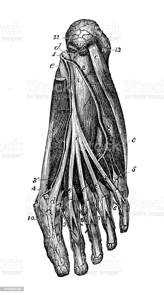 Antique Illustration Of Human Body Anatomy Foot Arteries Stock