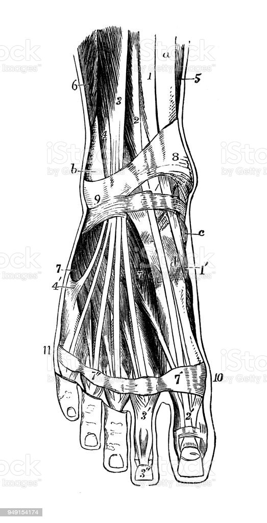 Antique Illustration Of Human Body Anatomy Foot Muscles Stock Vector ...