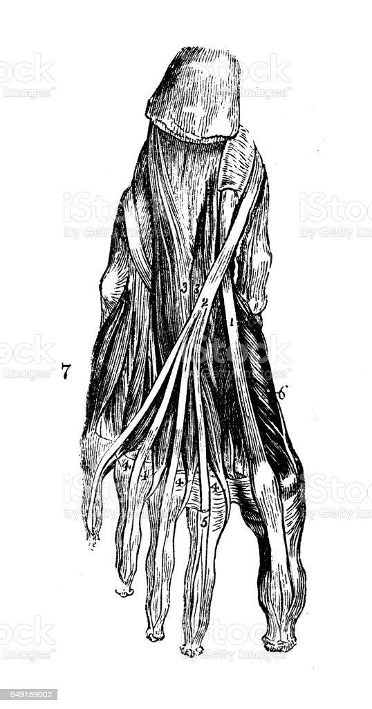 Asombroso Ternero Arterias Anatomía Festooning - Imágenes de ...
