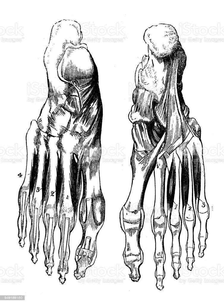 Fantástico Gráfico De La Anatomía De Espalda Baja Bandera - Anatomía ...