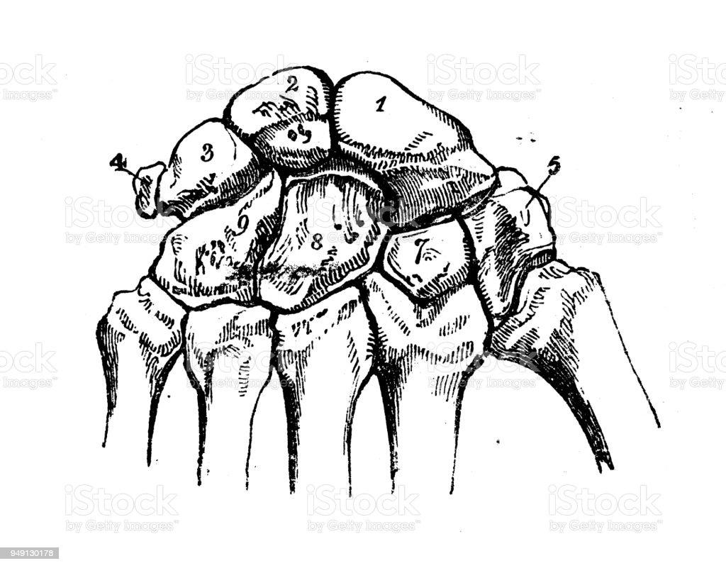 Antike Darstellung Der Anatomie Des Menschlichen Körpers Hand Stock ...