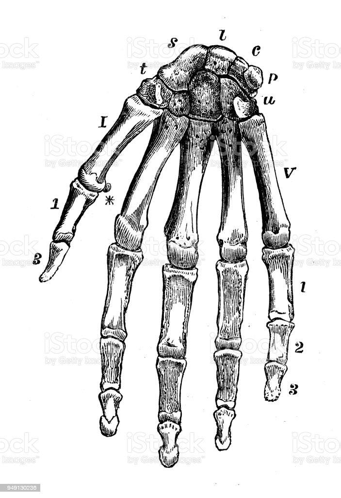 Beste Name Der Menschlichen Körperteile Bilder - Anatomie und ...