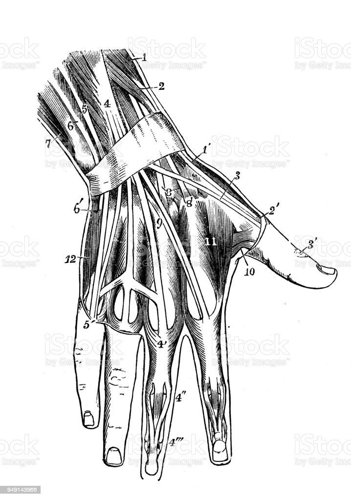 Antique illustration of human body anatomy: Hand muscles vector art illustration