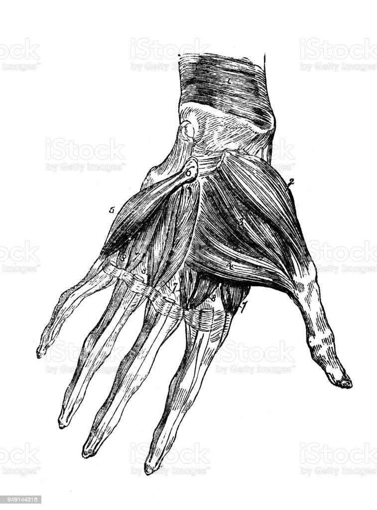 Nice Anatomy Hand Muscles Adornment Human Anatomy Images