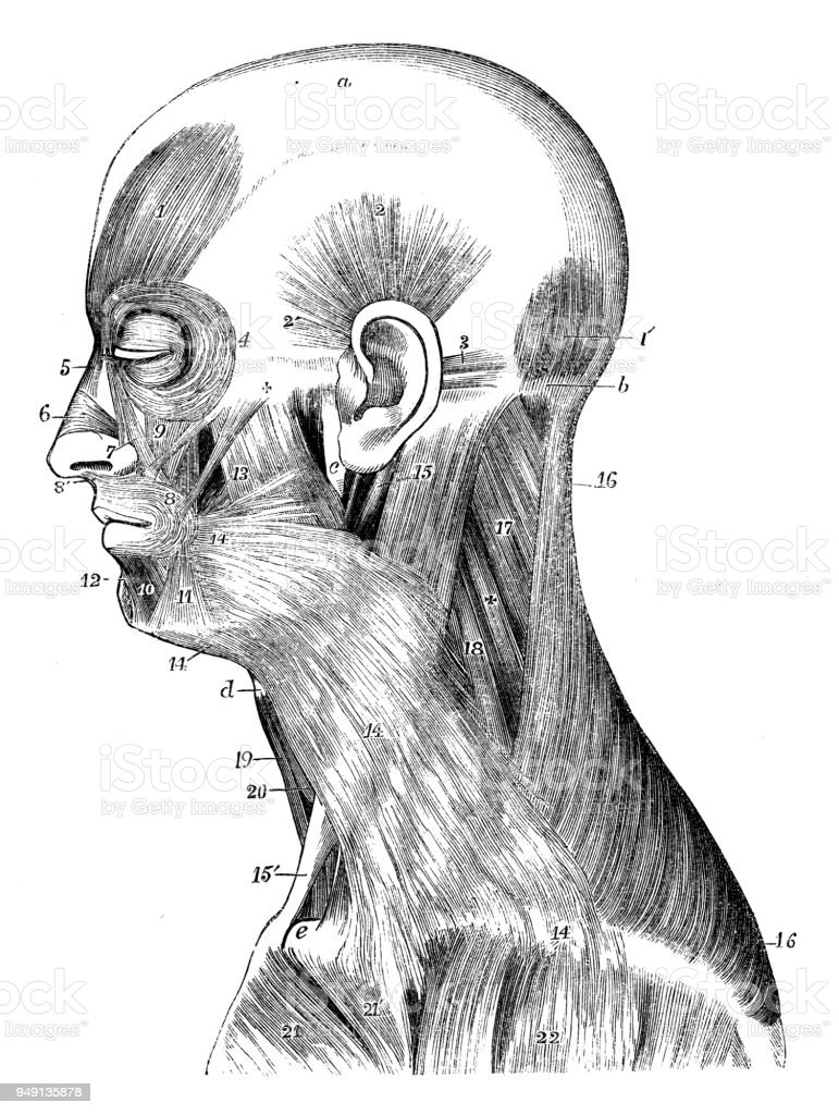 Antique Illustration Of Human Body Anatomy Head And Neck Muscles