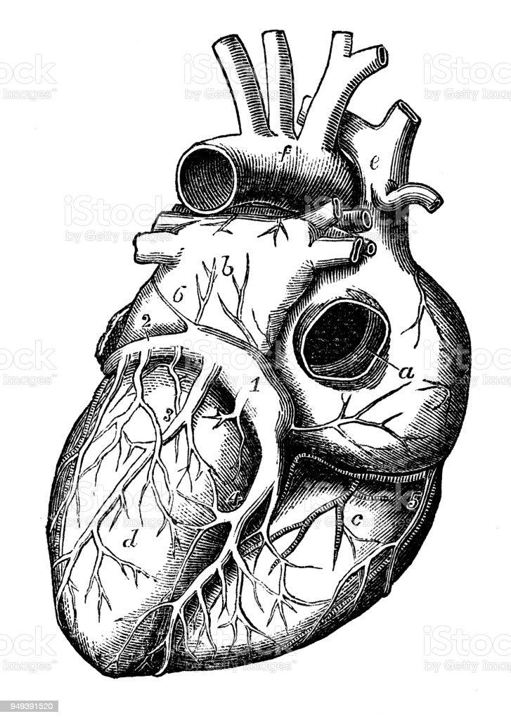 Antike Darstellung des menschlichen Körpers-Anatomie: Herz – Vektorgrafik
