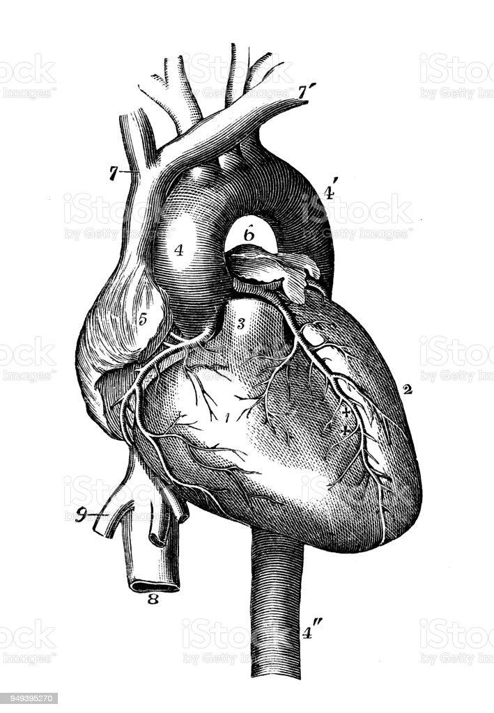 Antique Illustration Of Human Body Anatomy Heart Stock Vector Art ...