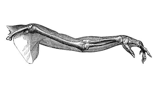 Antique illustration of human body anatomy: Human arm