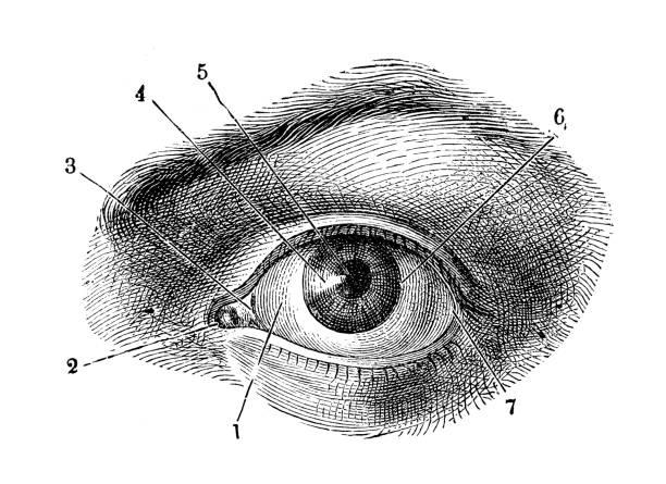Antique illustration of human body anatomy: Human eye Antique illustration of human body anatomy: Human eye biomedical illustration stock illustrations
