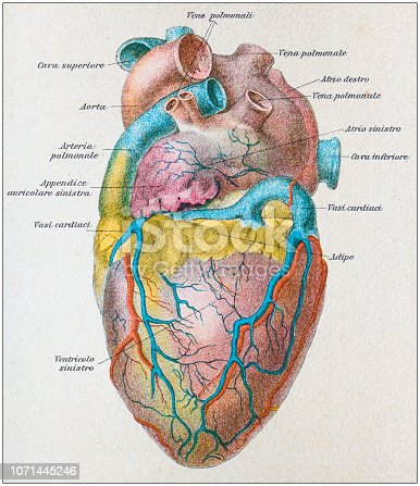 Antique illustration of human body anatomy: Human heart side
