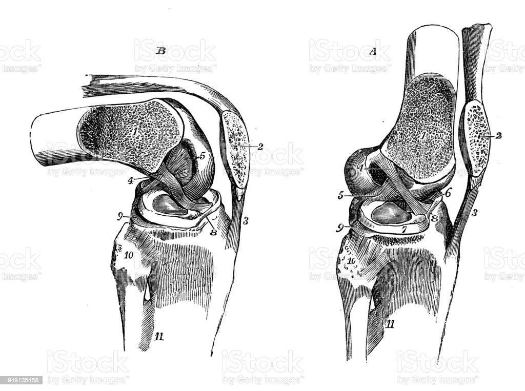 antique illustration of human body anatomy knee joint illustration id949135458 antique illustration of human body anatomy knee joint stock vector