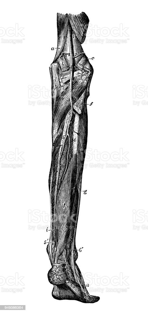 Antique Illustration Of Human Body Anatomy Leg Arteries Stock Vector ...