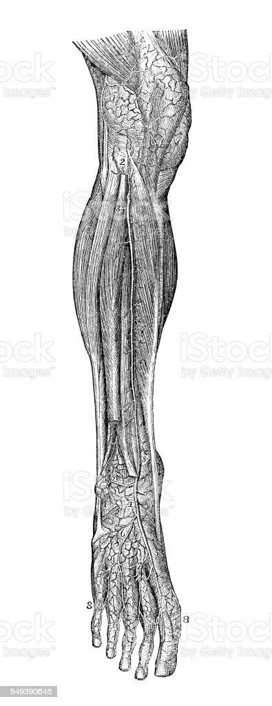 Antike Darstellung Der Anatomie Des Menschlichen Körpers Bein ...