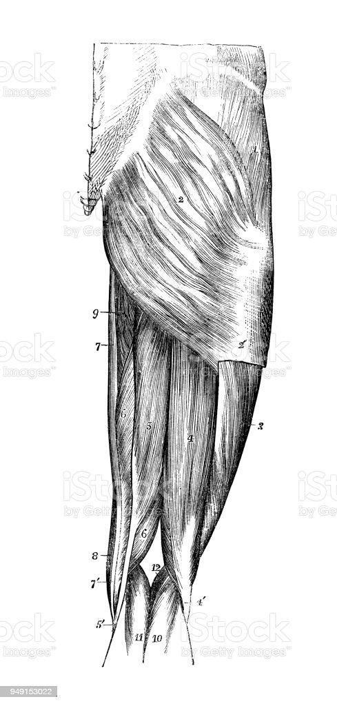 Antigua Ilustración De La Anatomía Del Cuerpo Humano Músculos De La ...