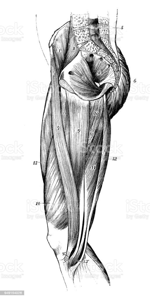 Antique Illustration Of Human Body Anatomy Leg Muscles Stock Vector
