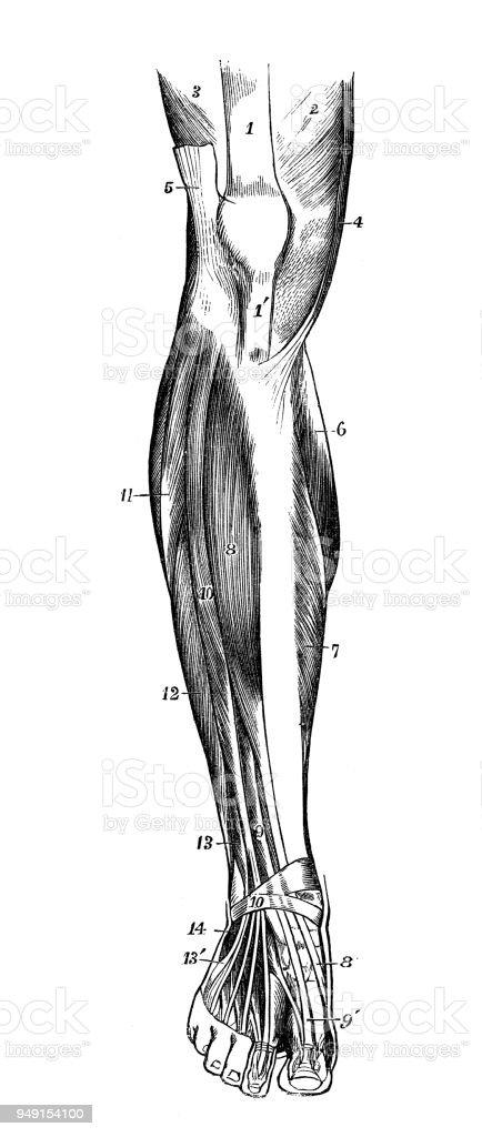 Antique Illustration Of Human Body Anatomy Leg Muscles Stock Vector