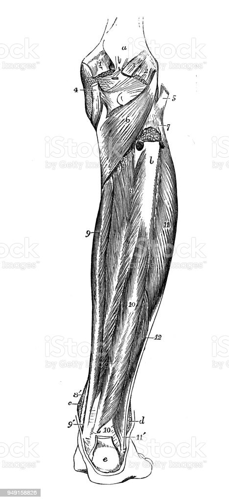 Antique Illustration Of Human Body Anatomy Leg Muscles Stock Vector ...