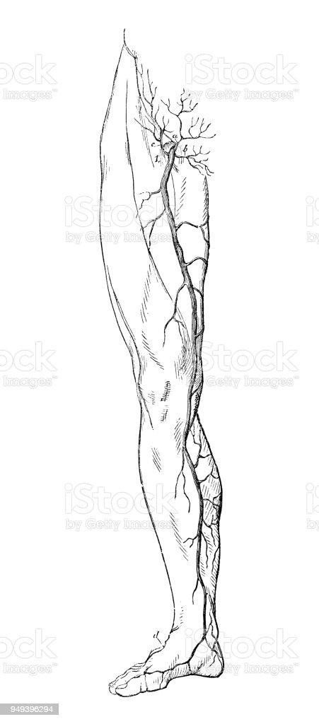 Antike Darstellung Der Anatomie Des Menschlichen Körpers Beinvenen ...