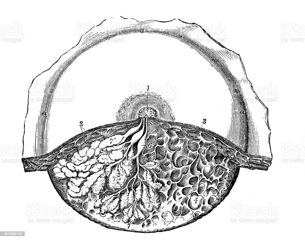 Antique Illustration Of Human Body Anatomy Mammary Gland Stock ...