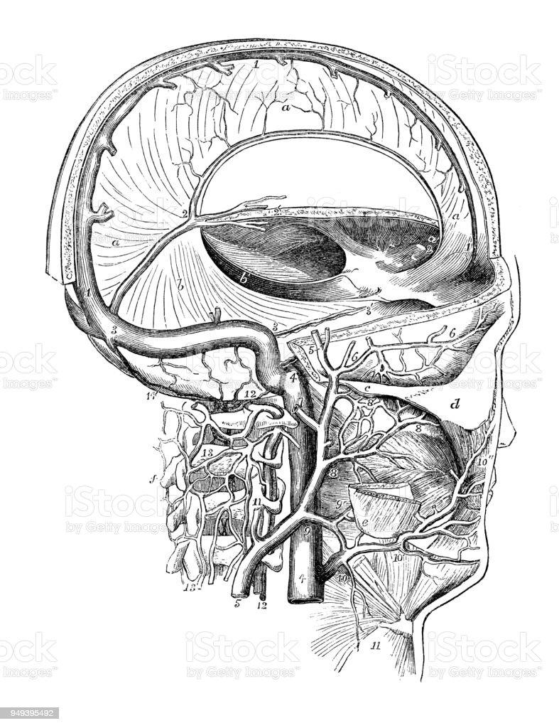 Antigua Ilustración De La Anatomía Del Cuerpo Humano Venas De Cabeza ...