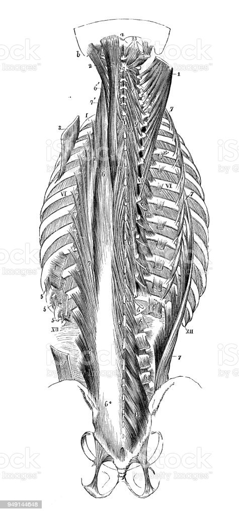Antique Illustration Of Human Body Anatomy Neck Spine Rib Cage ...