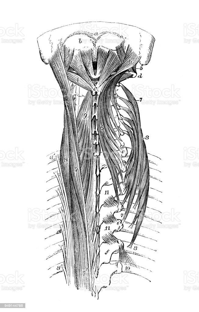 Antike Darstellung Der Anatomie Des Menschlichen Körpers Wirbelsäule ...