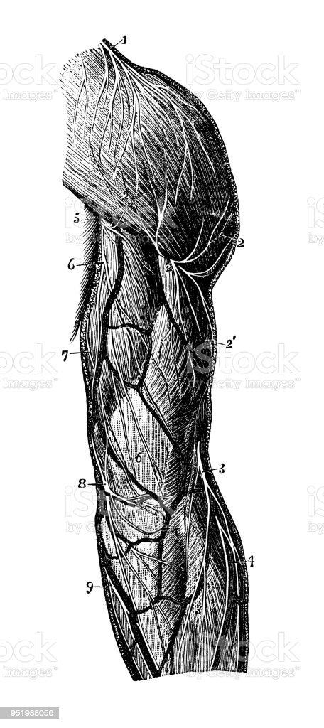 Antike Darstellung Des Menschlichen Körpersanatomienervensystem Arm ...