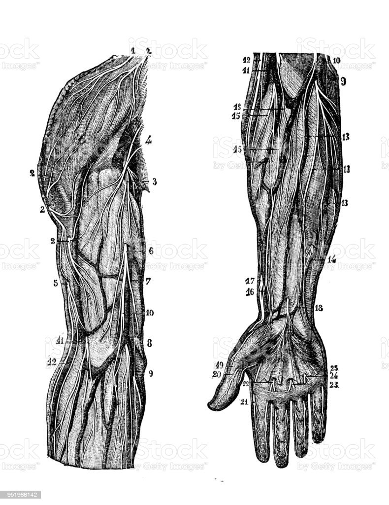 Antique Illustration Of Human Body Anatomy Nervous System Arm And