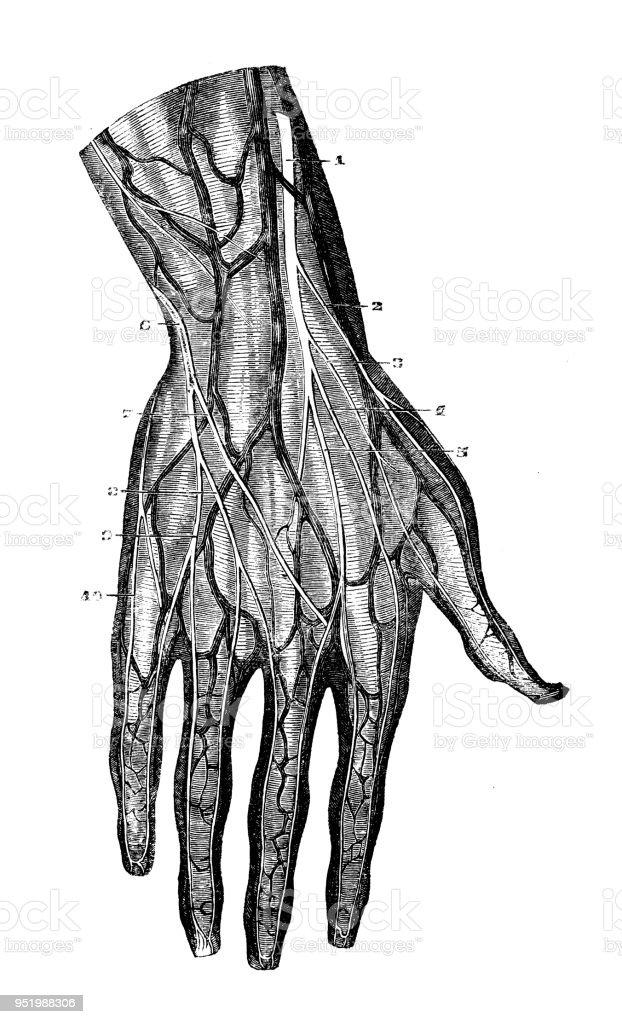 Best Hand Veins Illustrations  Royalty