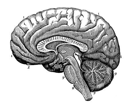 Antique illustration of human body anatomy nervous system: Brain section