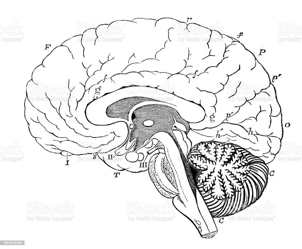 Ziemlich Anatomie Des Vestibulären Systems Bilder - Anatomie Von ...