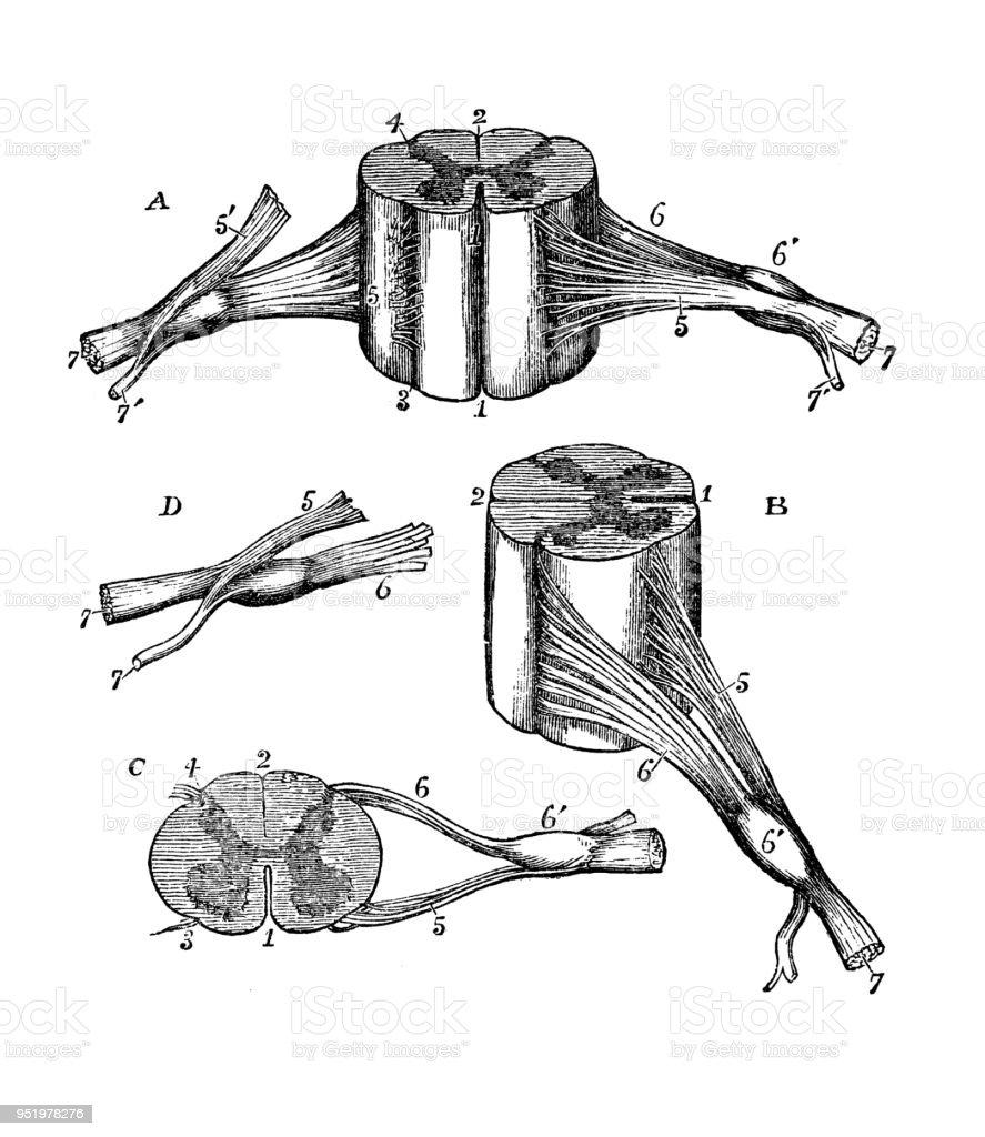Antique Illustration Of Human Body Anatomy Nervous System Cervical