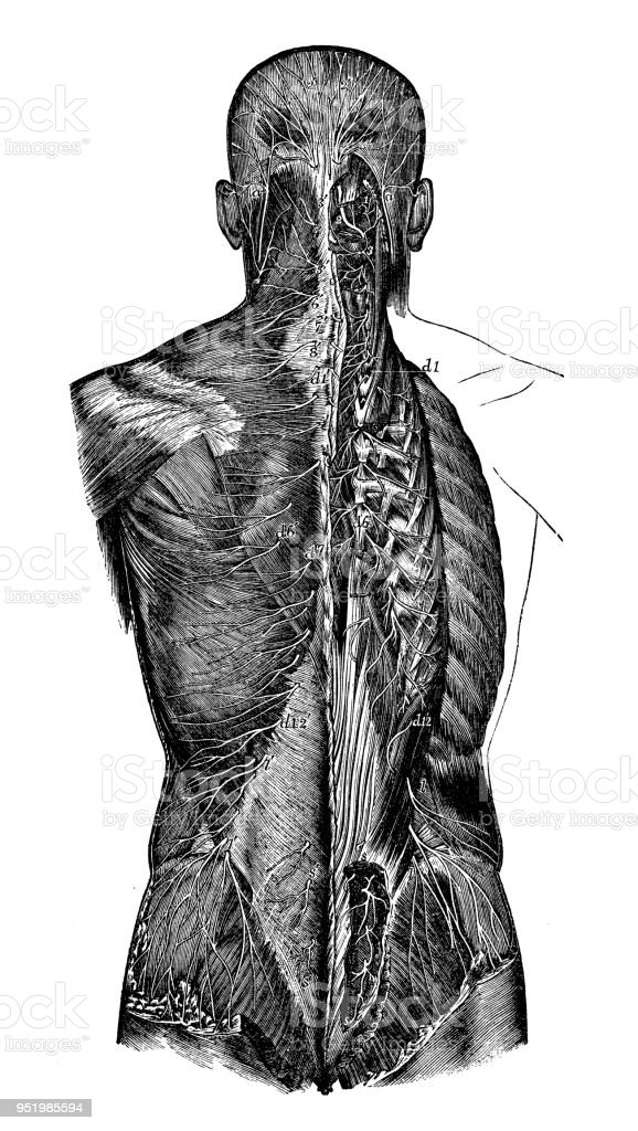 Antique Illustration Of Human Body Anatomy Nervous System Cervical ...