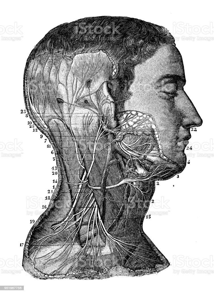 Antike Darstellung Des Menschlichen Körpersanatomienervensystem ...