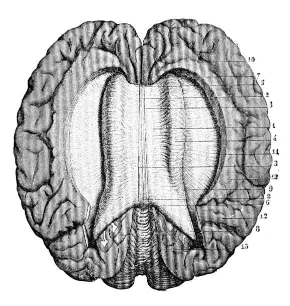 Antique illustration of human body anatomy nervous system: Corpus Callosum from above Antique illustration of human body anatomy nervous system: Corpus Callosum from above corpus callosum stock illustrations