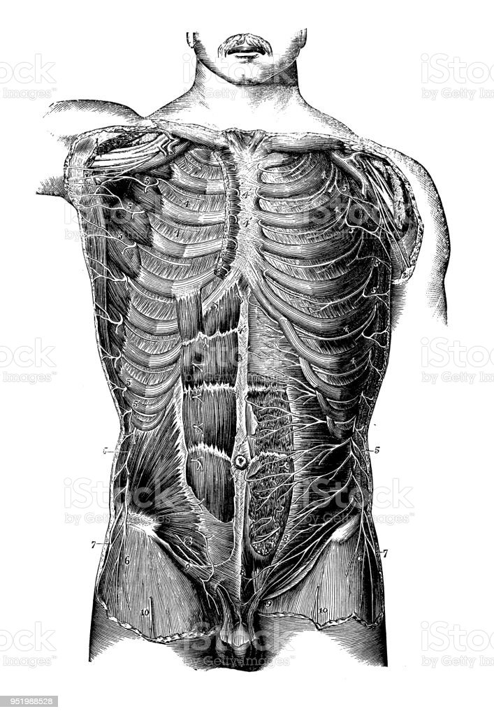 Antique Illustration Of Human Body Anatomy Nervous System Dorsal And ...