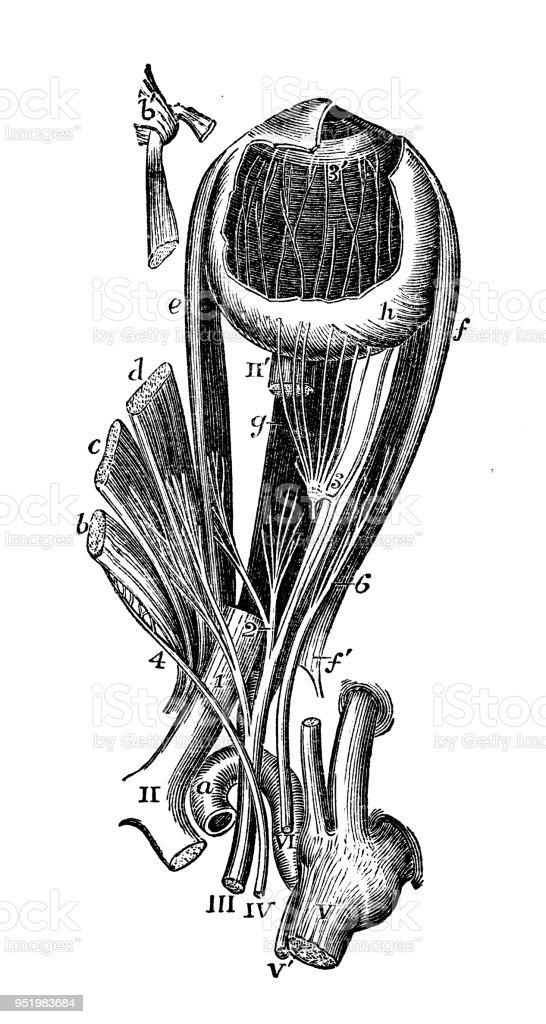 Antike Darstellung Des Menschlichen Körpersanatomienervensystem Eye ...