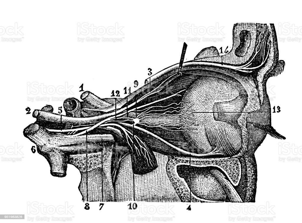 Excepcional Anatomía Humana Y Fisiología Y Marieb Hoehn Octava ...
