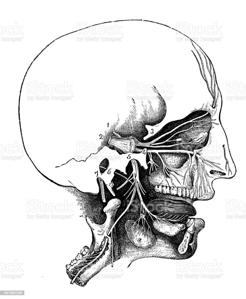 Antike Darstellung Des Menschlichen Körpersanatomienervensystem Kopf ...