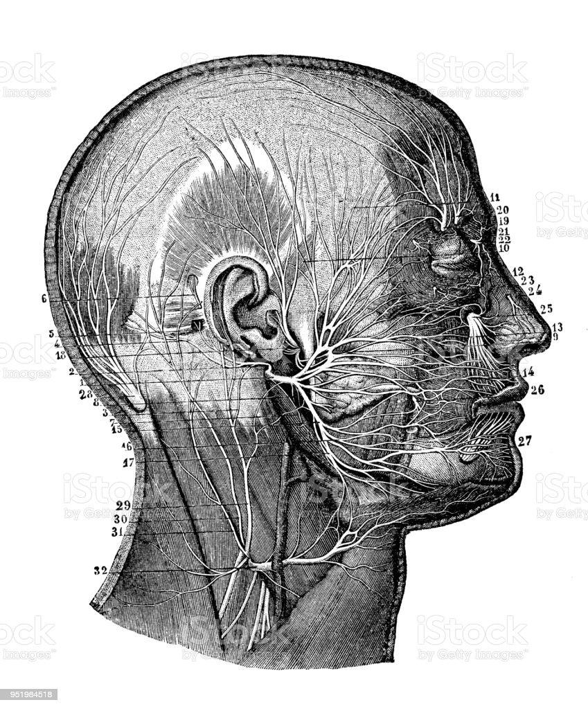 Antigua Ilustración Del Cuerpo Humano Anatomía Del Sistema Nervioso ...