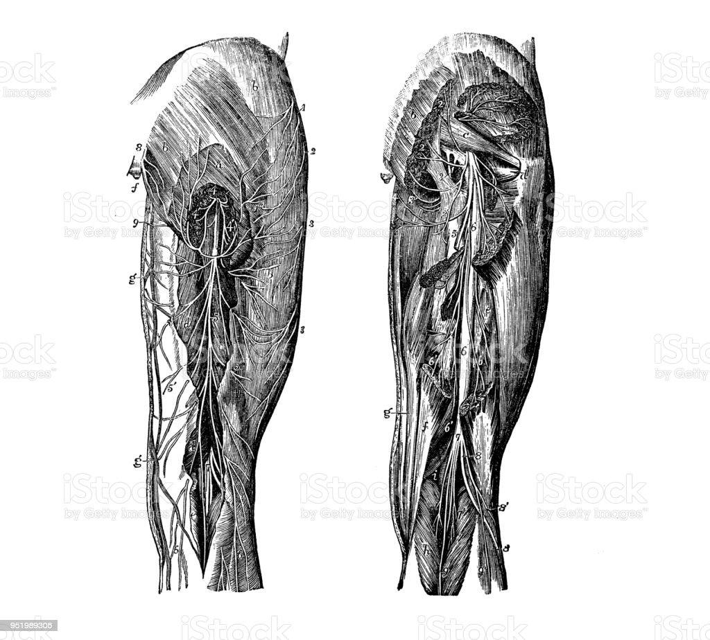 Antique Illustration Of Human Body Anatomy Nervous System Leg Nerves